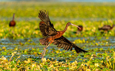 Glossy Ibis flying in the Danube Delta