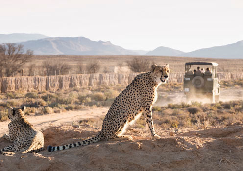 Cheetahs in Ceres, South Africa