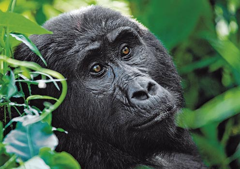 See mountain gorillas in the Bwindi Impenetrable Forest National Park