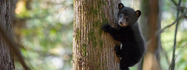 A black bear cub climbing down a tree trunk