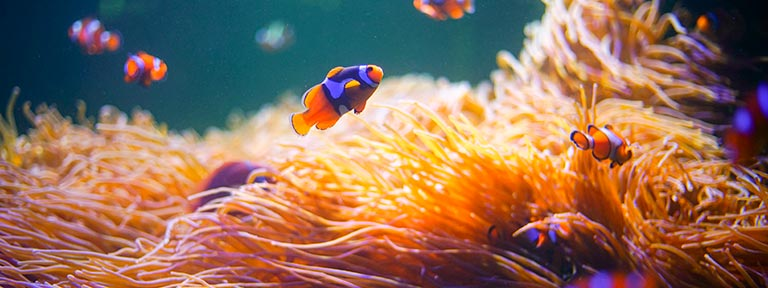 Clownfish swimming amongst anemones in the Great Barrier Reef